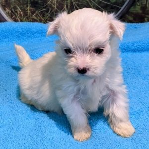 Teacup Maltese Puppies For Adoption