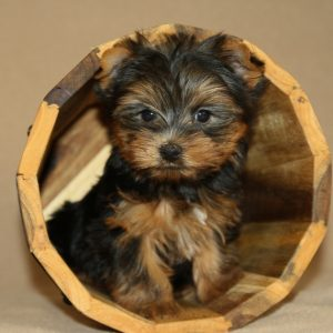Teacup Yorkie For Sale near me cheap in Usa Canada Au Eu