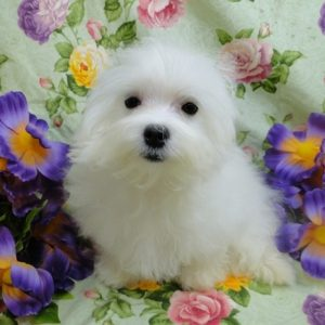 Maltese Pups For Sale Near Me Cheap
