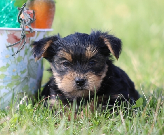 Yorkshire Terrier Puppies For Sale Near Me