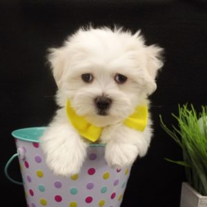 teacup maltese puppies for sale near me