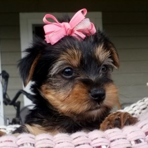 Yorkshire terrier puppies for sale near me cheap in Usa Canada Au Eu