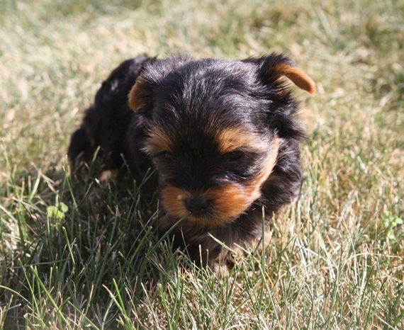 Teacup yorkshire terrier puppies sale