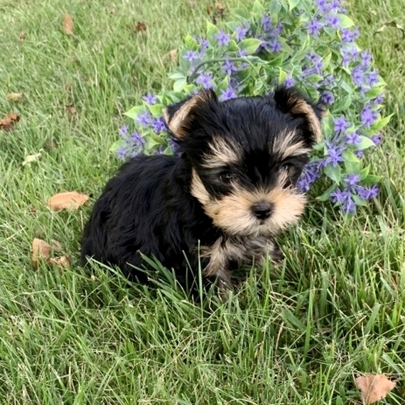 Tiny Teacup Yorkie Puppies For Sale Near Me cheap in Usa Canada Au Eu
