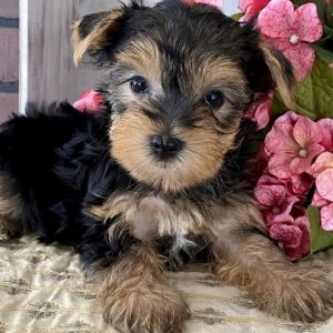 Yorkie puppies for adoption near me cheap