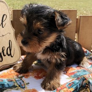 Teacup Yorkie Puppies For Sale Near