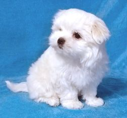 Teacup Maltese Dog For Sale