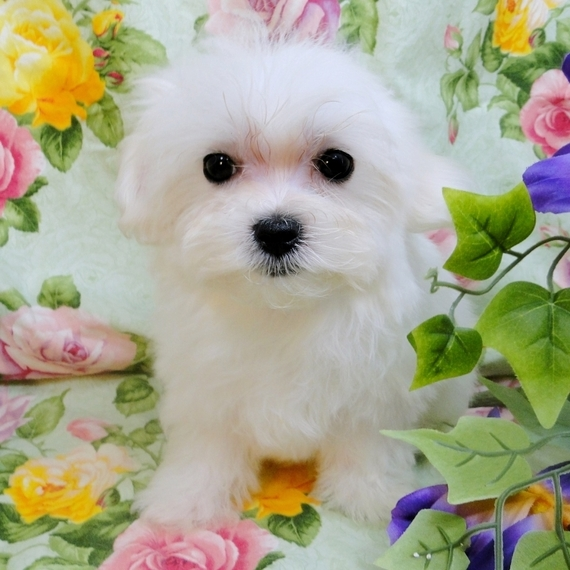 Micro Teacup Maltese Puppies For Sale Near Me