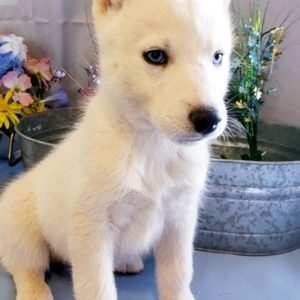 Siberian Husky For Sell