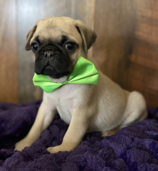 Pug Puppies For Sale In Ohio