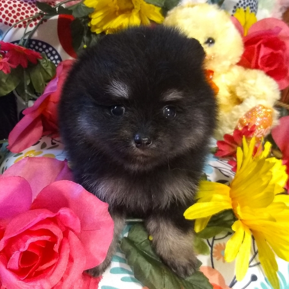 Cheap Pomeranian Puppies For Sale