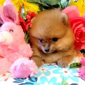 Pomeranian Puppy For Sale Near Me
