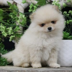 Baby Pomeranian For Sale
