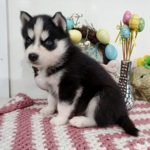 Miniature Siberian Husky Puppies For Sale