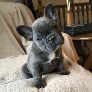French Bulldog Puppies For Sale cheap near me in USA Canada Au Eu