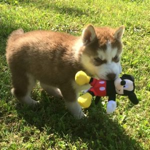 Siberian Husky Puppies For Sale Near Me