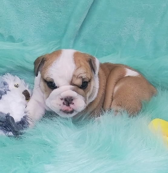 English Bulldog For Sale in Usa Canda Au Eu near me cheap