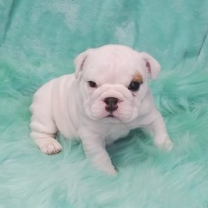 English Bulldogs For Sale Near Me