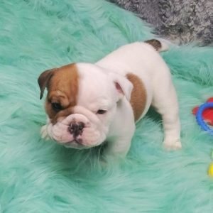 Bulldogs For Sale Near Me in usa canada AU Eu cheap