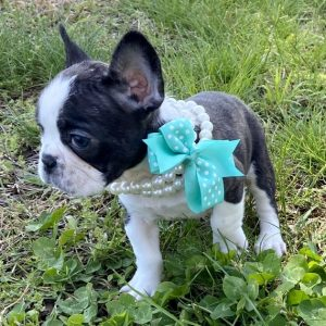 Cheap mini French Bulldog For Sale near me in Usa Canada Au Eu