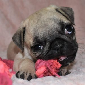 Pug Puppies Sale