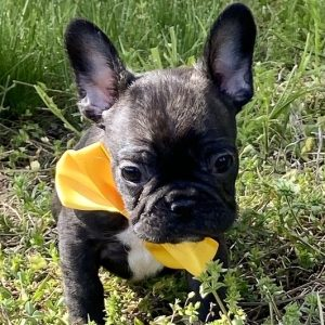 Brindle French Bulldog Puppies For Sale in USA Canada Au Eu near me cheap