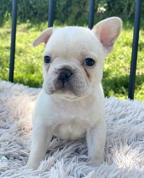 Teacup French Bulldog Puppies For Sale