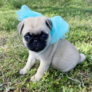 Pug Puppies For Sale near me cheap