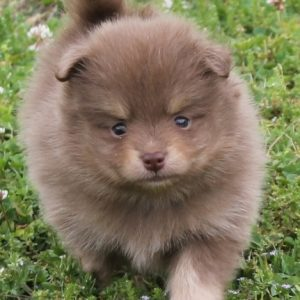 Pomeranian Puppies For Adoption