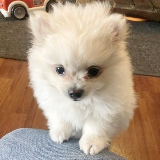 Mini Pomeranian Puppies For Sale