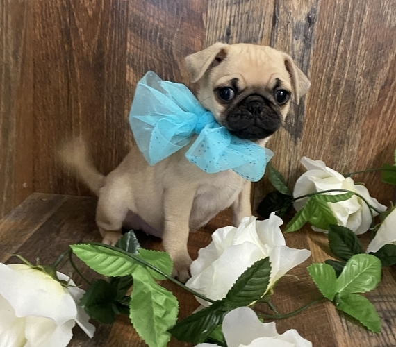 Pugs Puppies For Sale near me cheap in USA Canada AU EU