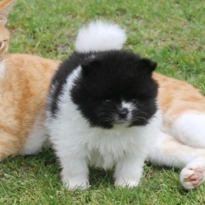 Pomeranian Puppies For Sale Near Me