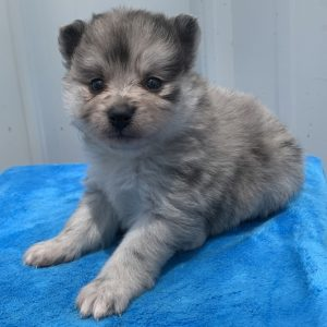 Teacup Pomeranian Puppies For Sale Near Me