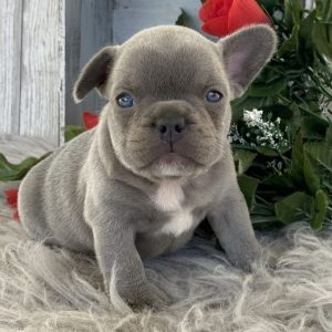 Miniature French Bulldog Puppies For Sale
