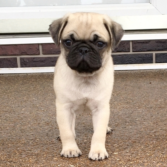Looking For Pug Puppies For Sale