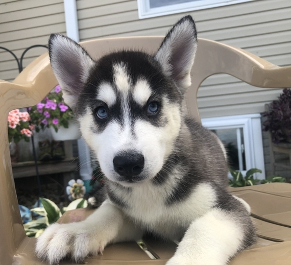 Full Breed Siberian Husky Puppies For Sale