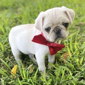 Pug Puppies For Sale Near Me