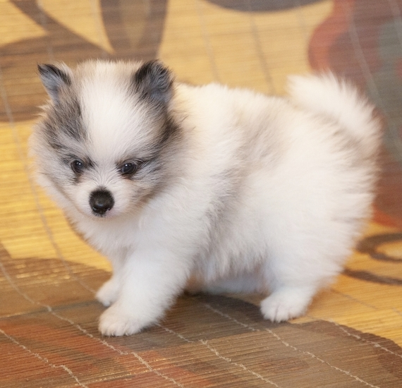 Toy Pomeranian Puppies for sale near me