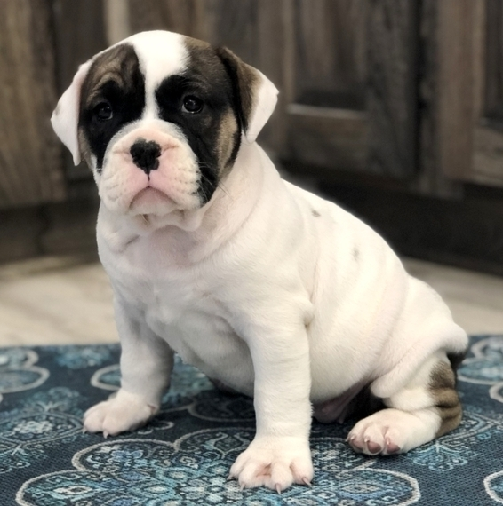 English Bulldog Puppies For Sale Near Me