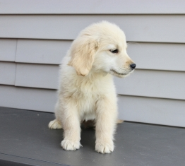 Cream Golden Retriever Puppies for sale near