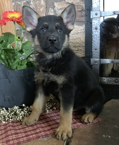 German Shepherd Puppies For Sale In Ohio