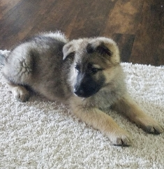 A German Shepherd Puppy For Sale