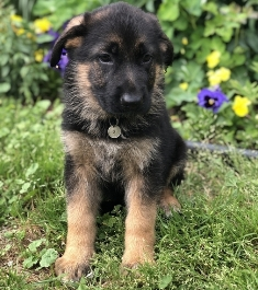 German Shepperd Puppies For Sale