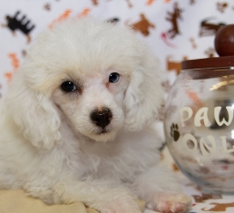 French Poodle For Sale