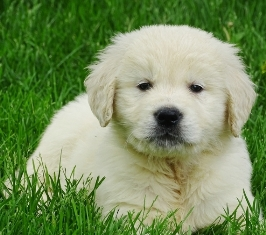 Golden Retriever Puppies For Sale In iowa