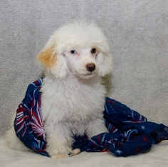 Toy Poodle Puppies For Sale Near Me