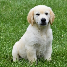 Where To Buy Golden Retriever Puppies Near Me
