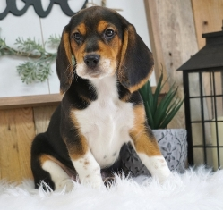 Beagle Puppies For Sale Online