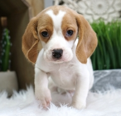 Beagle Puppies For Sale In PA