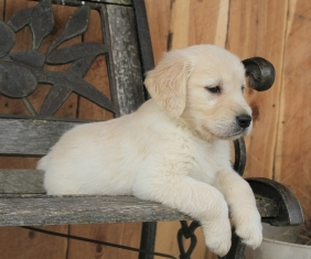 Where To Find Golden Retriever Puppies For Sale